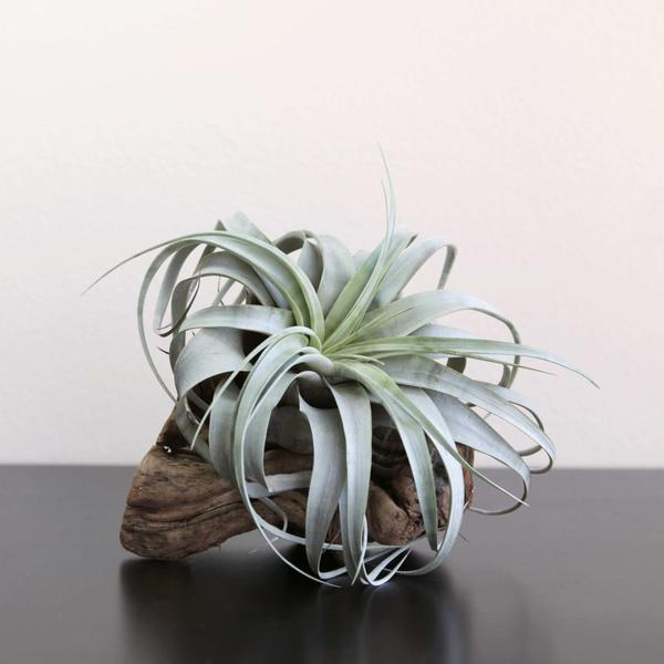 Air Plants-Perfect For Those of Us Who Don't Have a Green Thumb